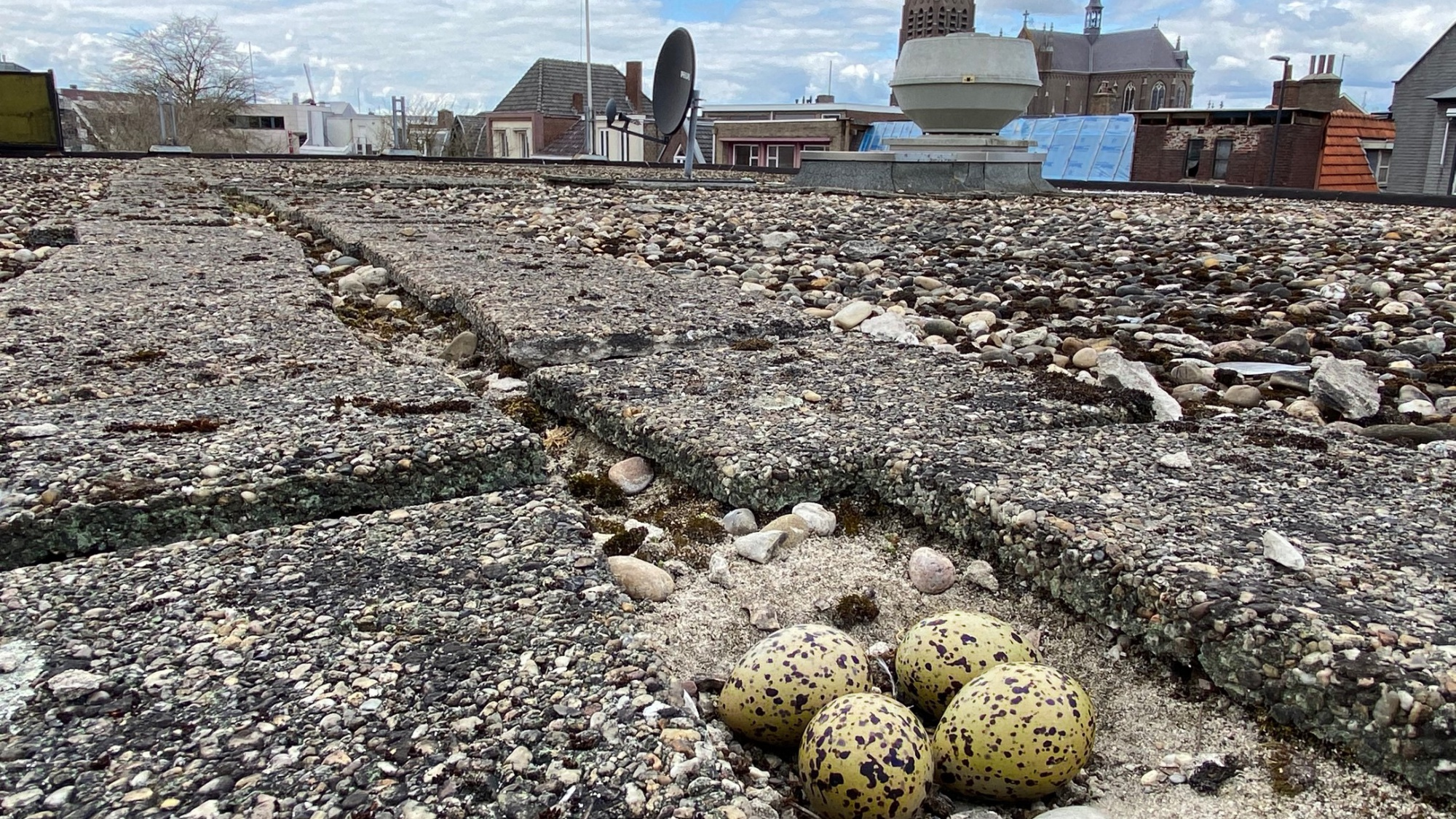 Eieren van de scholekster op het dak van het oude V&D pand