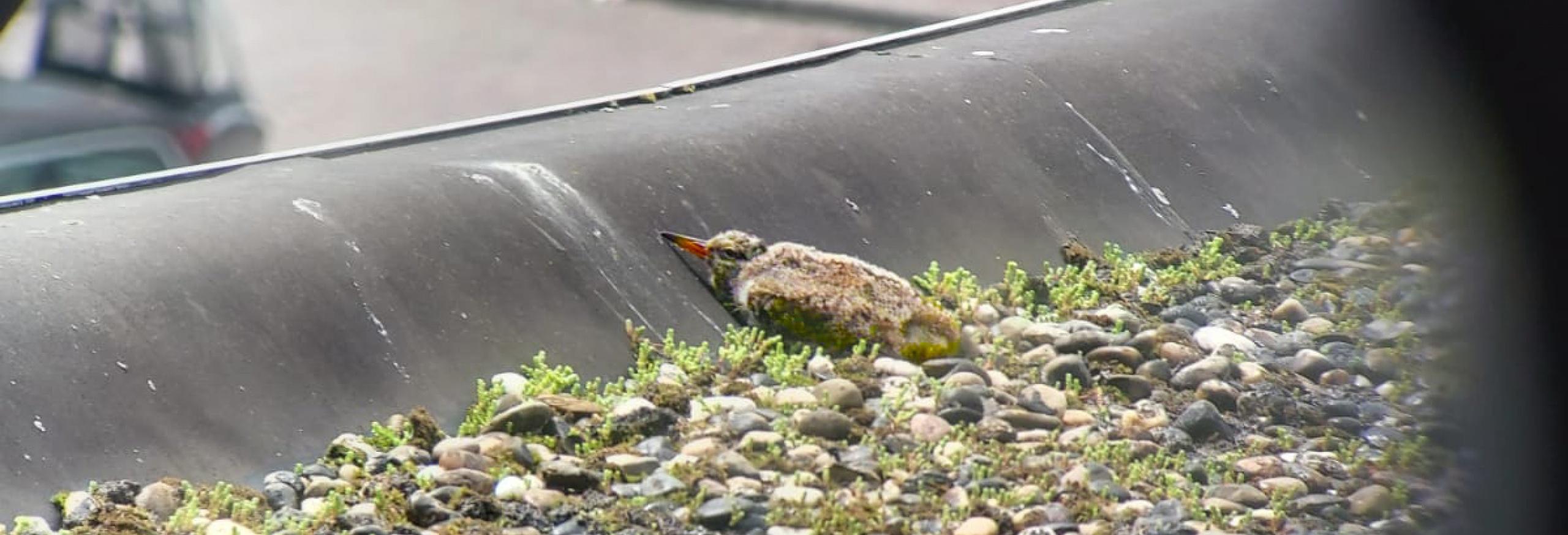 scholeksterkuiken net uit het nest